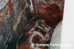 In All Likelihood, Most Retired Racehorses Are Being Slaughtered