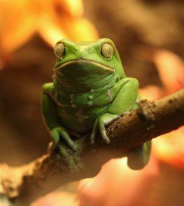 waxy-monkey-frog